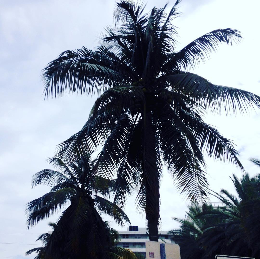Palmtrees Actually coconut trees miami miamibeach sun travel palmtrees beautifuldayhellip